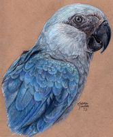 Losing Altitude - Spix's Macaw by KristynJanelle