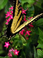 Swallowtail Butterfly 02 by MiaLeePhotography