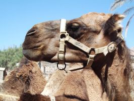Camel Reference Stock Three by SilverNight1079
