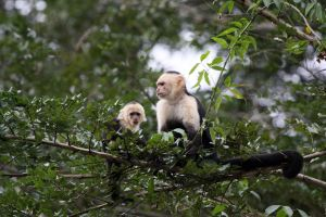 White-headed Capuchins by Pharmagician