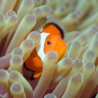 Tropical fish Clownfish II by MotHaiBaPhoto