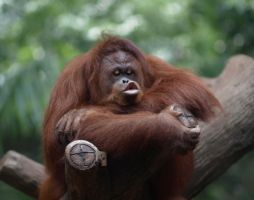 orang utan by rainbow-of-life