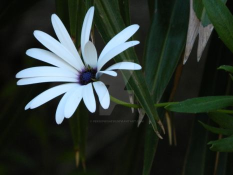 White Marguerite by Persephone30