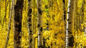 Looking Through the Yellow Aspens by mjohanson