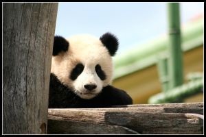 Fluffy panda by AF--Photography