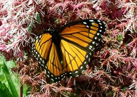 Monarch Butterfly 1 by Penny-Stock