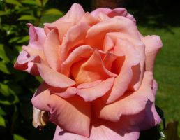 new compassion rose by kram666