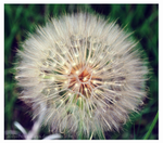 Goats Beard pt. 1 of 2 by alilyofthevalleys