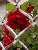 Red rose behind a fence by eclippse
