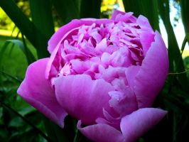 Pink Peony by Druid55