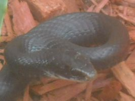 Southern Black Racer by insectmaster