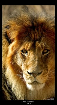 Lion Is by entropicuniverse
