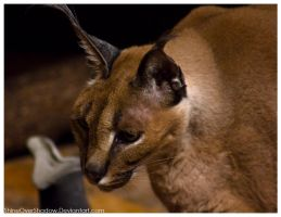 Caracal 004 by ShineOverShadow