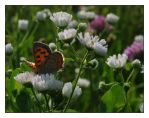 Copper and Fleabane by barcon53