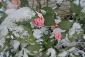 Icy Flowers by psimpson1