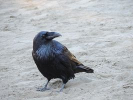 Curious Raven by Mathayis