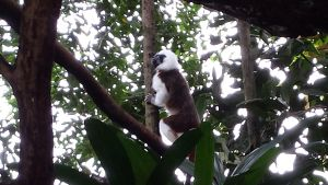 Cotton Top Tamarin by Roses-and-Feathers