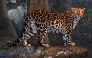 Denver Zoo 48 Leopard by Falln-Stock