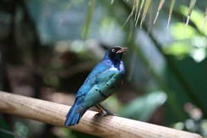 Superb Starling 3 by destinysWalrus