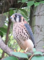 American Kestrel 5a by Windthin