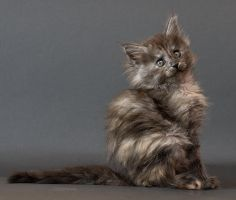 Maine coon kitten Chelsea by ropo-art