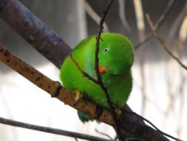 Vernal Hanging-Parrot 02 by animalphotos