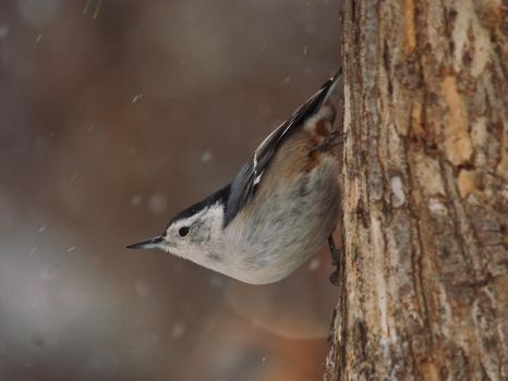 Winter Nuthatch by Merlinstouch