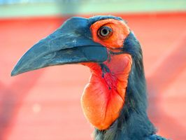 Southern Ground Hornbill by Teh-Pandacoon