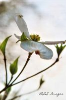 Dogwood by Alabamaphoto