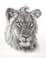 Young Lion by K-Langlois