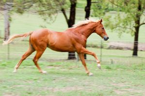 Thoroughbred Cantering by Chunga-Stock