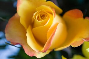 Yellow rose by archaeopteryx-stocks
