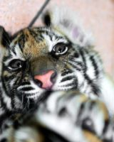 Baby Tiger Reaching Out by filemanager