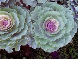 Decorative Cabbage by Wilcox660