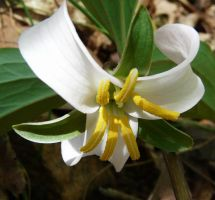 Trillium catesbaei bloom, by duggiehoo
