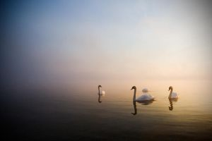 Swan by darthenjoy