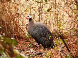 Guineafowl by EvangelinaMoon