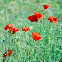Poppies.2. by ToXicLoveKid