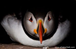 Puffin IV by ERB20