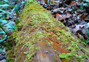 Mossy Log by CabelaOnly