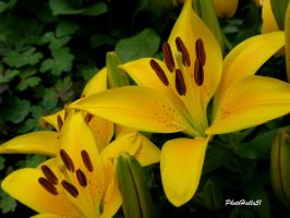 Lilly 63 by Halla51
