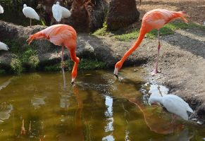 2 Flamingos Drinking Stock Photo DSC 0650 by annamae22