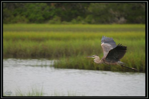 Great Blue Flight by lover-o-life