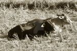 Cows laying in straw by carleato