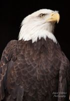 Bald Eagle 7 by EdgedFeather