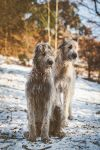 .: Irish Winter Wolves :. by Frank-Beer
