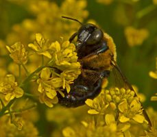Carpenter Bee 12-1 by boron