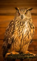 Eagle Owl by SaddlePatch