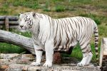 White bengal tiger by Gwynbleid