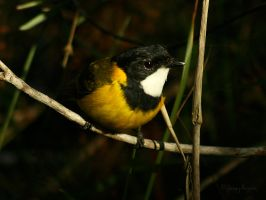 Golden whistler by JeremyRingma